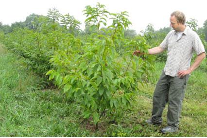 Douglass Jacobs examines chestnut tree
