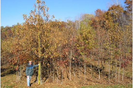 Anthony Davis in a Chestnut Orchard