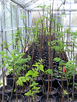 Image inside greenhouse of young trees