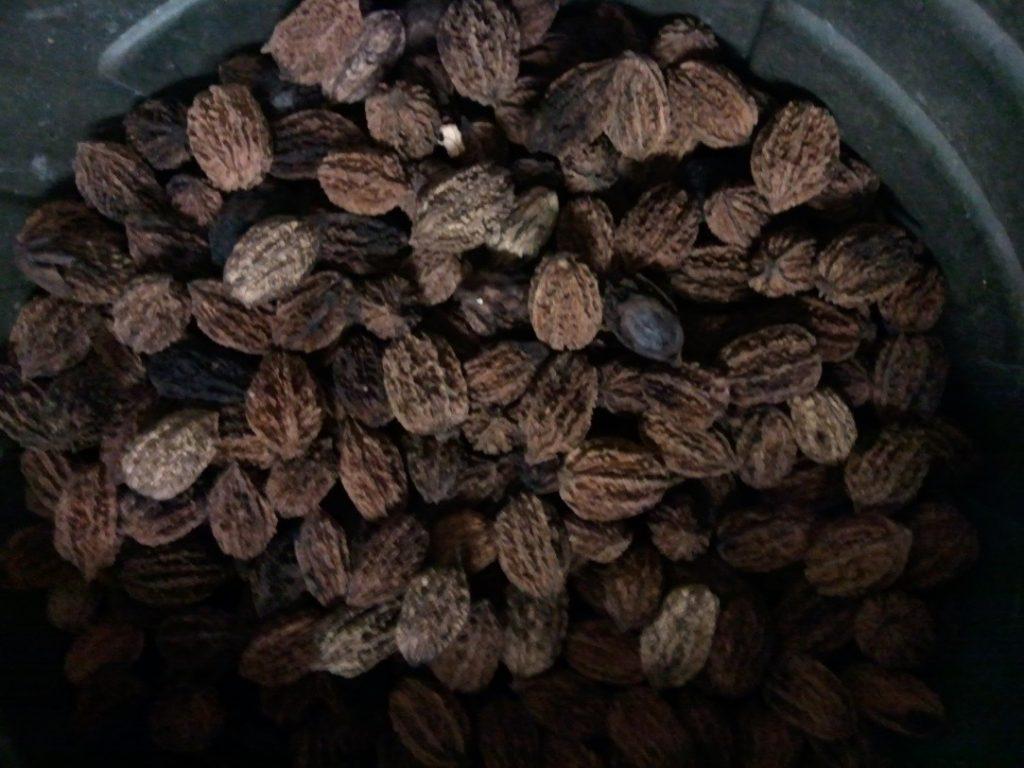 Bnut seeds