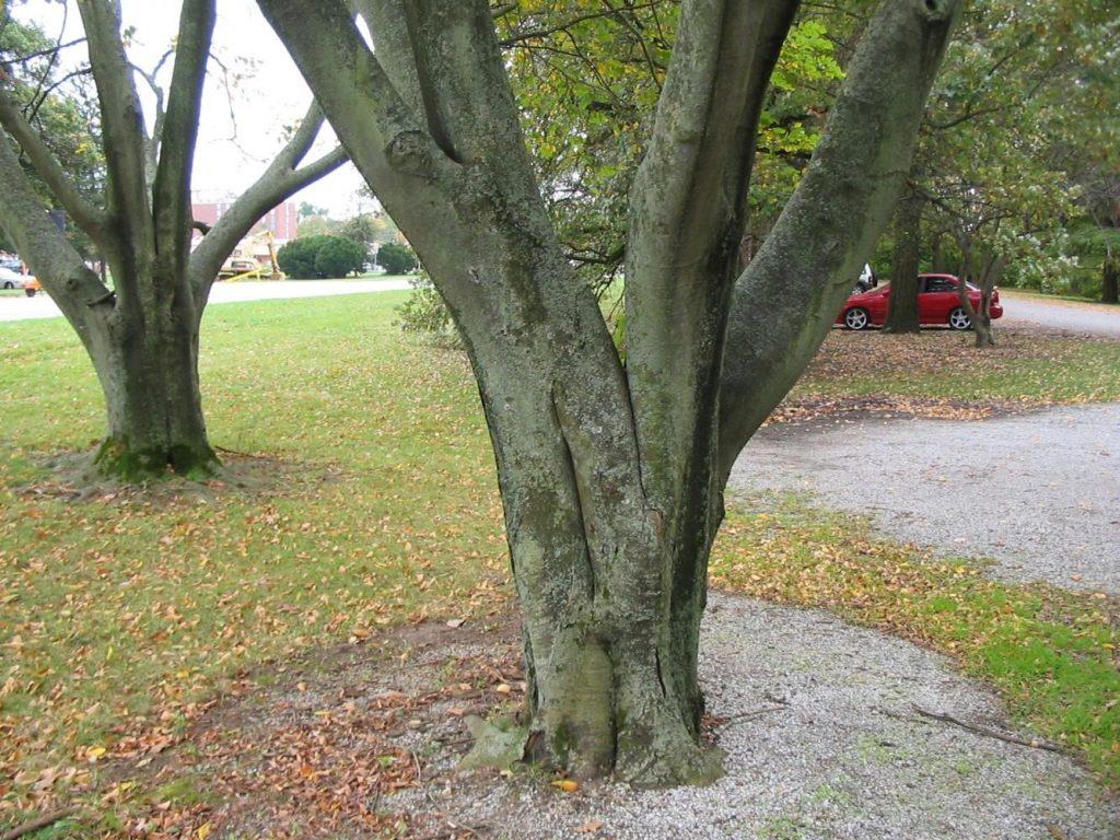 bark of a yellowwood