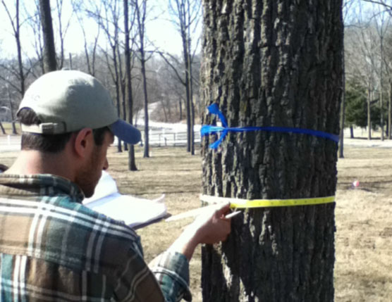 image of measuring black walnut