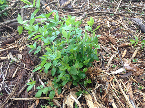 Image of Resprouting Honeysuckle Fecon