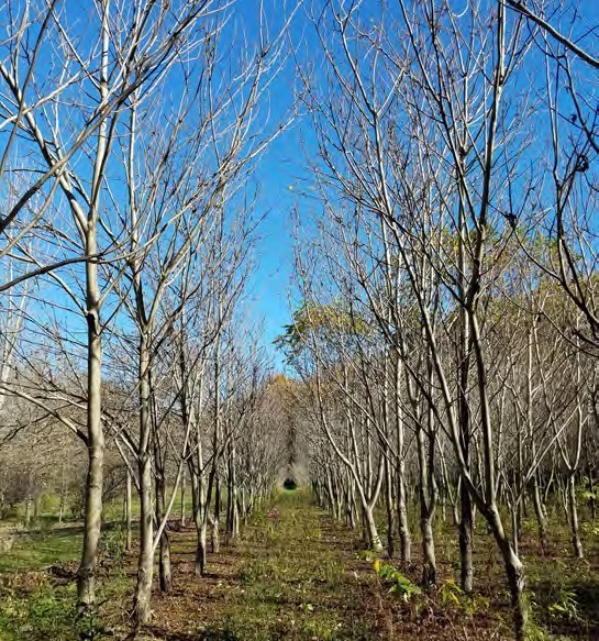 Trees in Forest rows