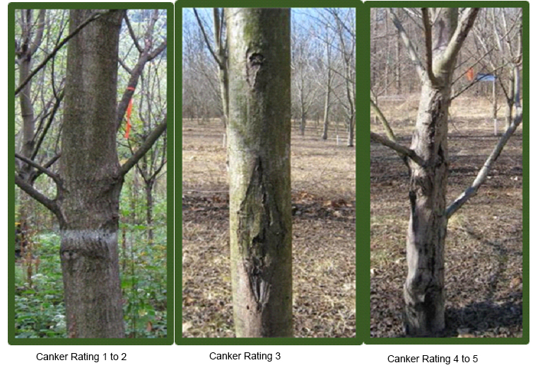 Image of canker ratings