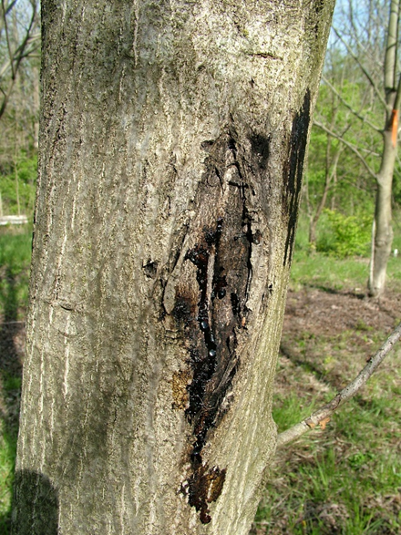 Active butternut canker on an inoculated tree