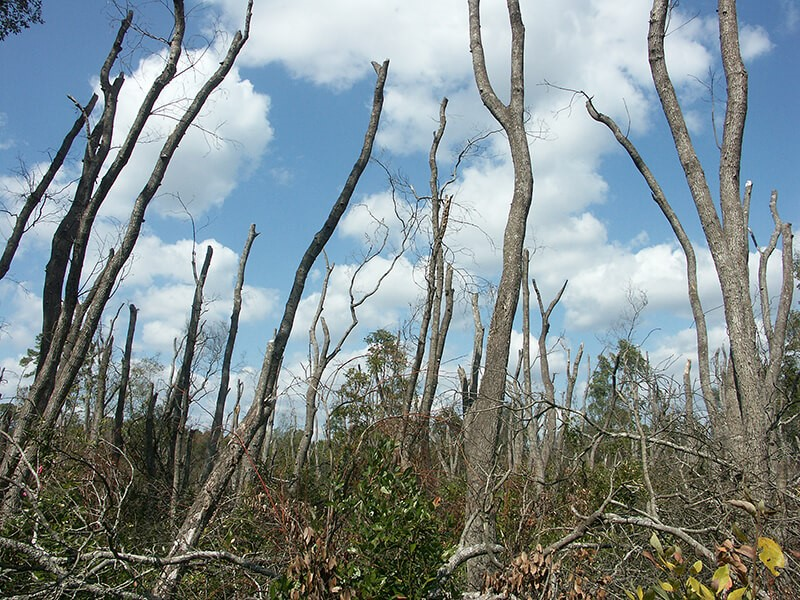 In Evans County, Georgia, laurel wilt disease