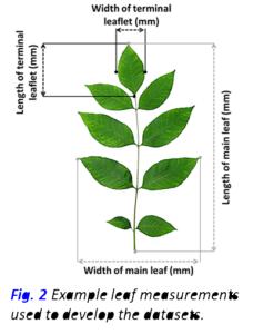 Leaf MeasuermentsFig 2